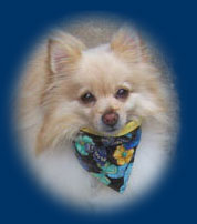 Pomeranian wearing butterfly dog bandana