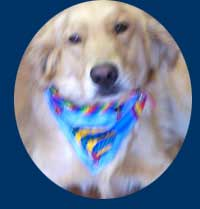 Golden Retriever wearing balloons bandana