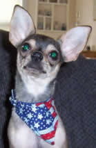 Chihuahua wearing small bandana with velcro