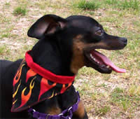 small dog bandana with velcro