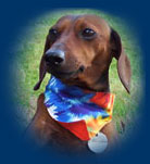 Miniature Dachshund wearing dog bandana